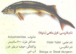 فیل ماهی