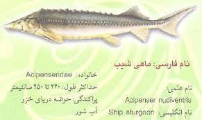 ماهی خاویار شیپ