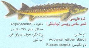 تاس ماهی روس یا چالباش یا Acipenser GueldenStaedtii