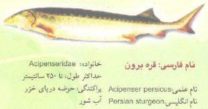 کالوگا یا Huso Dauricus