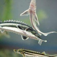 بچه ماهی خاویاری تاس ماهی