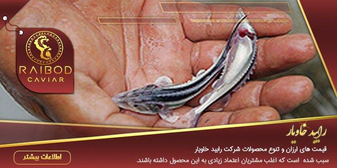 قیمت بچه ماهی خاویار برای پرورش