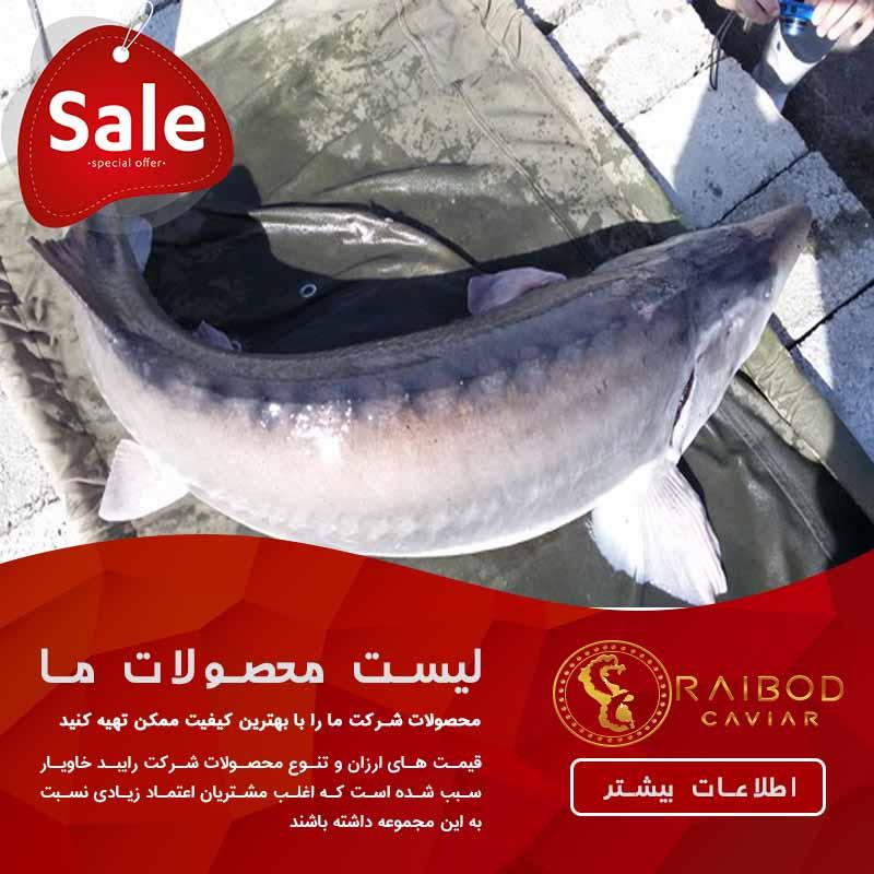 خرید و فروش ماهی بلوگا از شرکت های مخصوص